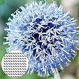 Semillas de Flores-100Pcs / Bolsa Allium Cyaneum Semillas Seguras de alta germinación Perenne Floración gigante de plántulas de cebolla para jardín - Semillas de cebolla gigante