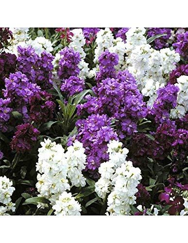 GETSO Samen-Paket Nicht Pflanzen: 3G (~ 1800 Seeds): 200/3600 Seeds Goldlack MatthiolaMam Mischung Blumenjahr