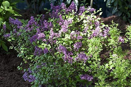 Meyer's Flieder Syringa meyeri 'Palibin' im Topf gewachsen ca. 30-40cm