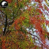 ASTONISH Erstauner SEEDS: Kaufen Baumsamen 200pcs Pflanze Seide Baumwolle Du Baum