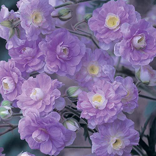 Shopvise Seltene Pelargonie Samen Sommer Himmel Pelargonium mehrjährige Blumensamen robuste Bonsai 10 Samen