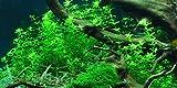 Tartan Guppy 1 Alfombra para Acuario con diseño Hemianthus micranthemoides Pearl Grass Live Aquascape Plants