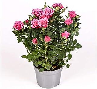 comprar comparacion Rosal mini - PACK 4 unidades - maceta 10,5cm. - altura total aprox. 30cm. - planta viva - (envíos sólo a península)
