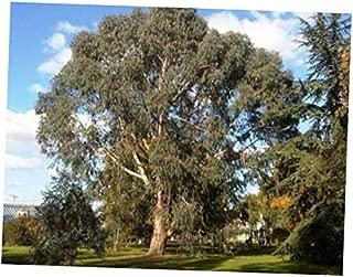 CJI 5 Seeds Eucalyptus dalrympleana Mountain White Gum Tree - RK57