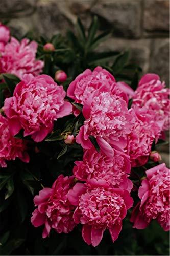 Bulbos de Peonía Rey De Las Flores Flor De Bulbo De Planta Flores En La Sala De Estar FáCil De Cultivar Flores-15 Bulbos,Rojo