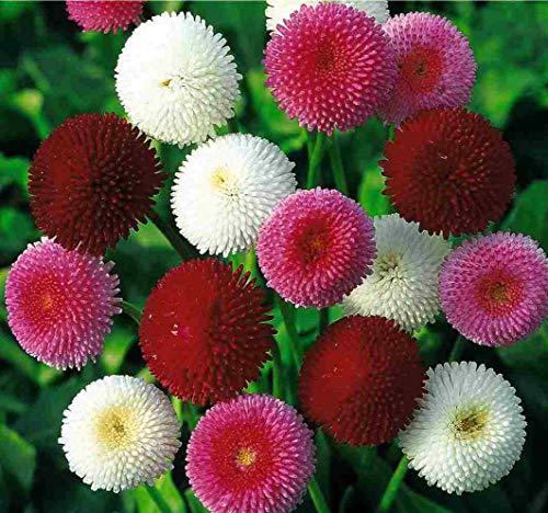 Seeds English Daisy Pompon Double Mix (Marguerite Bellis) Outdoor Perennial Garden Cut Flower for Planting Non GMO