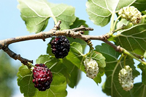 Schwarze Maulbeere Morus nigra Containerware 40-60 cm