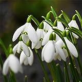 super1798 200 Pcs Snowdrop Galanthus Seeds Bulbs Growing Gardening...