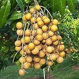 ScoutSeed 5 Semillas de Partículas Dimocarpus Longan Venta Caliente Fruta Bonsai Dragón Exótico