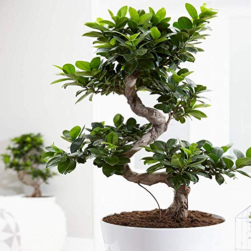 Ideal Gift Plant for Home or Office - Ficus Ginseng Decorative Indoor Bonsai