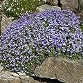 Outsidepride Aubrieta Rock Cress Pale Blue Seeds