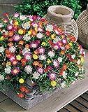 Risitar Graines - 100pcs Afrique du Sud Rare Pourpiers de Cooper en mélange, plantes tapissantes Grainé fleur jardin Plantes vivaces résistante au froid ou bordure ou même en pot ou auge sur balcon