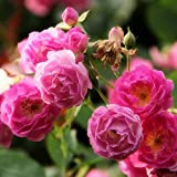 Yumhouse Semillas de Flores para Jardin,Rose Floral Seed Climbing Vine Seasons Thick-Rose Flower_200 g,Semillas de Flores Exterior trepadoras