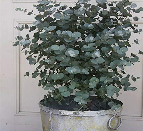 Eucalyptus Silverdrop 20S-e-e-ds