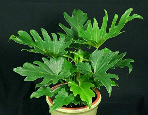 SmartMe Live Plant - Hope Philodendron - Philodendron bipinnatifidum 'Hope' - 1 Feet Tall