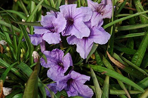 Purple Dwarf Katie Ruellia Petunia - Live Plant in a 6 Inch Pot - Ruellia Brittoniana Katie - Butterfly Attracting Herbaceous Perennial
