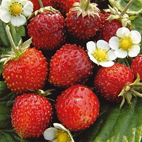 Strawberry S.e.e.ds Berries S.e.e.ds Aleksandiya