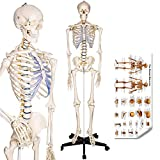 RONTEN Human Skeleton Model,...