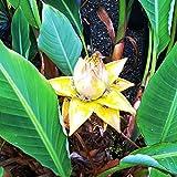 Future Exotics Musella Lasiocarpa LOTUS Banane Bananenstaude