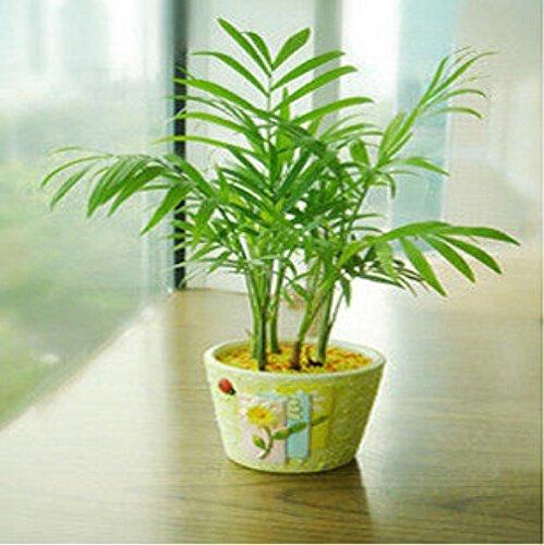 50 pcs / sac, graines Chamædorea, graines en pot, graines de fleurs, variété complète, le taux de 95% en herbe, (couleurs mélangées)