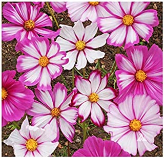 1000 Cosmos Candystripe Seeds - Long Blooming Period in All Zones 4-5' Tall