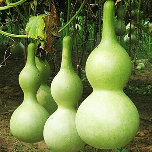 Oce180anYLVUK Semi di cucurbita gigante, fiori, semi di erba, 10 pezzi/borsa Semi di cucurbita gigante non OGM Bottiglia annuale di zucca commestibile Piantine di zucca per giardino Cucurbit