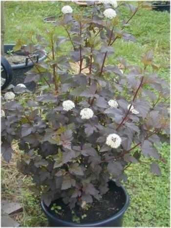 Teufelsstrauch Physocarpus opolifolius Diabolo -R- 80 cm hoch im 3 Liter Pflanzcontainer