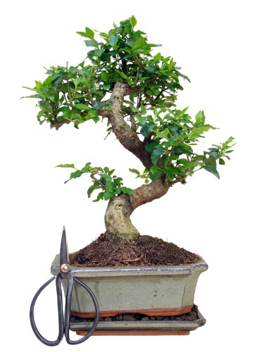 Zimmerbonsai chinesischer Liguster Bonsai ca. 7-8 Jahre ca. 30 cm hoch Immergrün inkl. Bonsaischere
