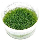 *Tropica Aquarium Pflanze Moos Riccia fluitans Nr.001 TC in Vitro 1-2 Grow Wasserpflanzen Aquarium Aquariumpflanzen