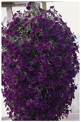 Lot de 10 graines Pétunia retombants - fleurs pendants F1 Wave Blue - RARE - annuelle