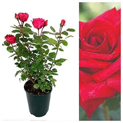 Rose Pride of England in a 3Litre Pot - Patriotic Rose Bush for The Garden
