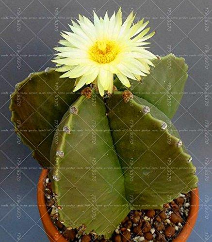 100pcs vrai Succulent Cactus graines de figue de Barbarie Bonsai Graines de fleurs Plante en pot pour jardin purifient l'air Prévenir les radiations 3