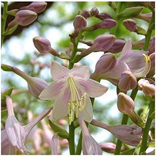 KINGDUO Egrow 100Pcs/Pack Parfum Lily Graines Blanc Rose Belle Décoration Plantes Fleurs Graines-3