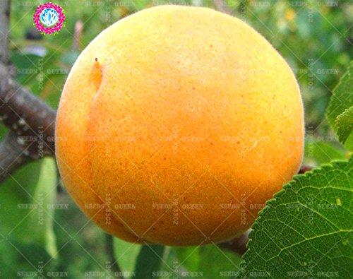 11.11 Big Promotion! 2 pcs/lot géant graines d'abricot graines d'arbres fruitiers jus vert jardin et la maison plante herbacée vivace organique aweet