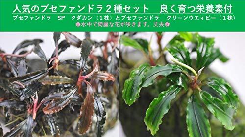 (水草)人気のブセ2種セット ブセファンドラ SP クダカン(1株)+グリーンウェイビー(1株)+栄養素付 イイ水草市場
