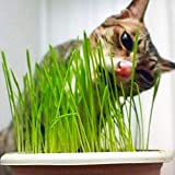 Cat Grass Wheatgrass Herb Seed 200+ Great Gardening Gift Easy to Grow Oat Grass for Home Garden Yards Planting
