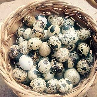 Fresh Quail Eggs(24)