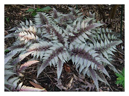 1 x Athyrium niponicum 'Red Beauty' 1 Liter(Ziergras/Farn/Stauden) SELTENHEIT