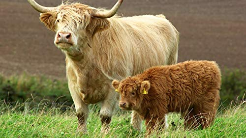 5D Diamond Painting Kit Highland Cattle Embroidery Cross Stitch Painting for Home Wall Decor30x45cm Full round drill