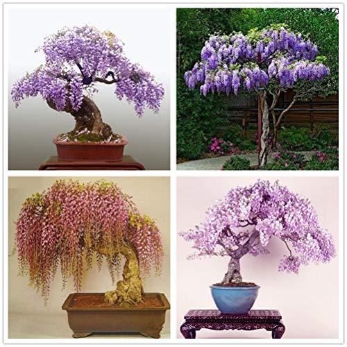 hua xian zi 30 Pack - Bonsai Tree Chinese Wisteria Tree Seeds, Bonsai da fiore molto pregiato, Wisteria sinensis