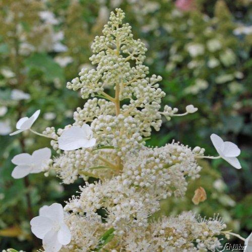 Rispenhortensie Kyushu weiß - Hortensie winterhart & mehrjährig - Hydrangea paniculata - 1 Pflanze von Garten Schlüter - Pflanzen in Top Qualität
