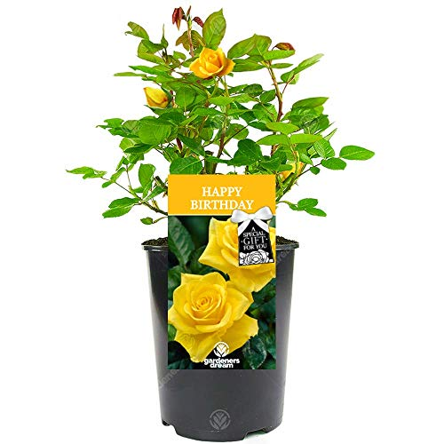 Happy Birthday Rose - Celebrate Someone Special's Birthday with a Unique Living Plant Gift