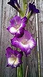 Bulbos De Gladiolo, Hermosas Flores, Hermosas Plantas Exóticas, / Patio / Mágico /-3-bulbos,Lila
