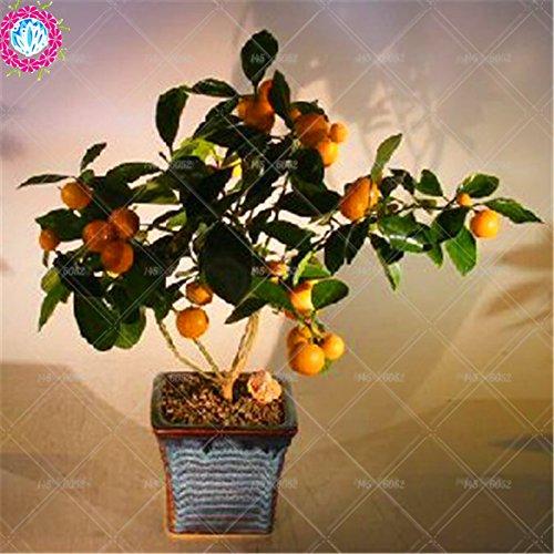 20pcs / sac de graines d'arbre orange nain Bonsai Mandarine Graines arbre comestible de fruits pour plantes de jardin à domicile mis en pot 2