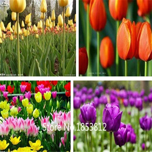 Multi-Colored : Sale!500Piece 16 Colors Tulip Seeds 2016 New Garden Flowers Four Season Sowing World Rare Flower Seeds For Garden