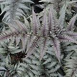 SB 1 Athyrium niponicum Ursulas Red Fern Hardy Shade Damp Pond bog Plant