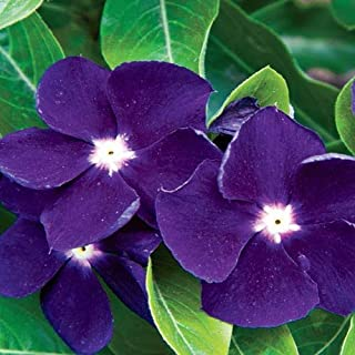 Best ground cover purple flowers vinca Reviews