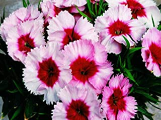 Dianthus Seeds Super Parfait Strawberry 50 Pelleted Seeds Mb003