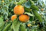 Maekawa Jiro Japanese Persimmon Tree Grafted Cannot Ship toCA, AZ, AK,...