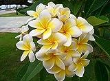 100 Semillas Home Garden Frangipani Plumeria Rubra Lei Semillas De Flores De Huevo Semillas De Flores